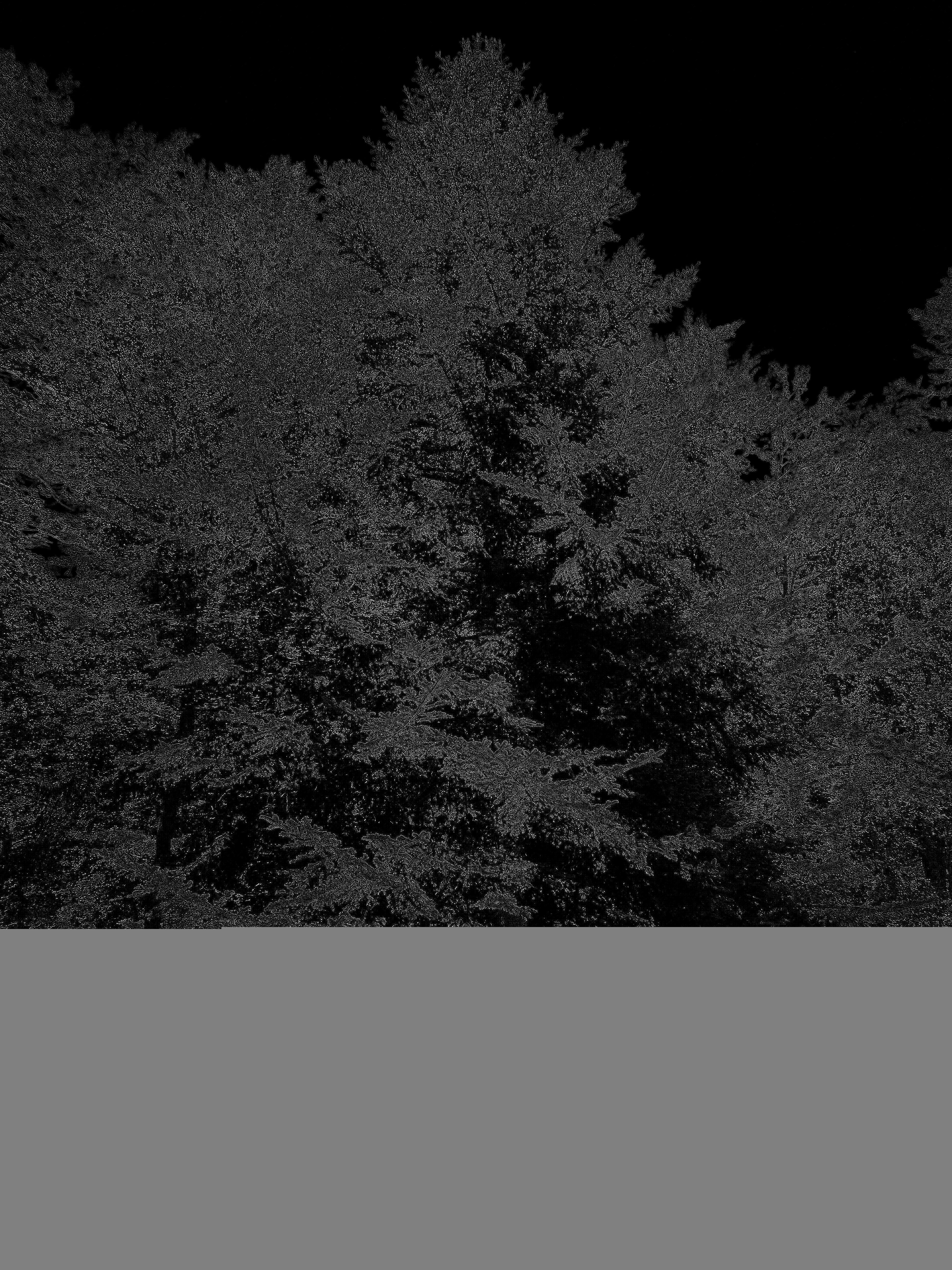 Photographie n°2462671 du taxon Abies alba Mill. [1768]