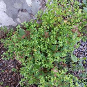 Photographie n°2462792 du taxon Euphorbia peplus L.