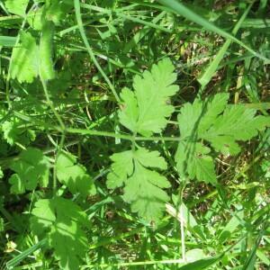 - Chaerophyllum temulum L. [1753]