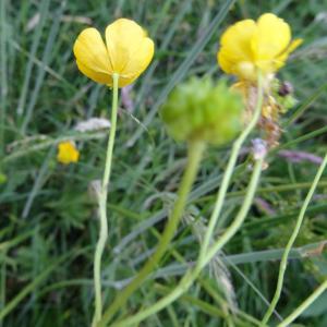 - Ranunculus acris L. [1753]