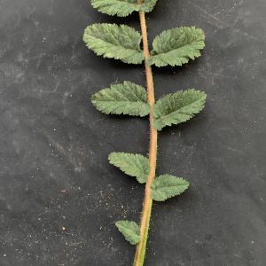 - Erodium cicutarium (L.) L'Hér. [1789]