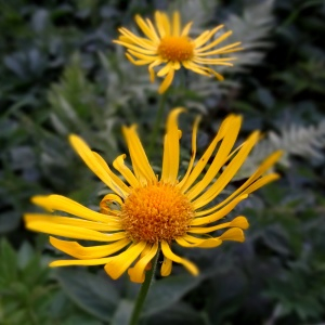 - Doronicum austriacum Jacq. [1774]