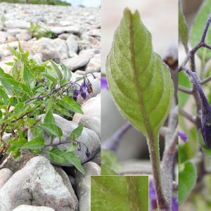 - Solanum dulcamara var. marinum Bab.