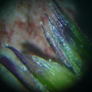 Photographie n°2463466 du taxon Sesleria caerulea subsp. caerulea