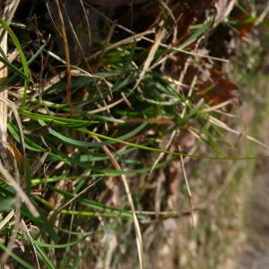 - Sesleria caerulea subsp. caerulea