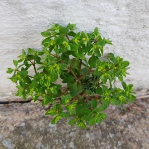 Photographie n°2463847 du taxon Euphorbia peplus L.