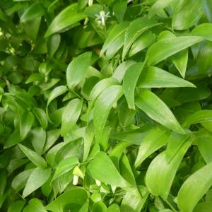 Photographie n°2463923 du taxon Asparagus asparagoides (L.) Druce [1914]
