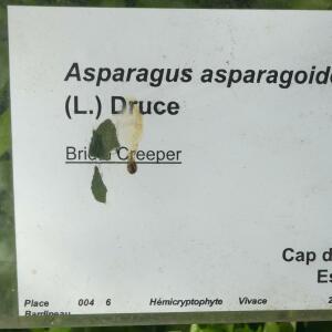 - Asparagus asparagoides (L.) Druce [1914]