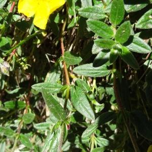 Photographie n°2464295 du taxon Helianthemum nummularium var. grandiflorum (Scop.) B.Bock