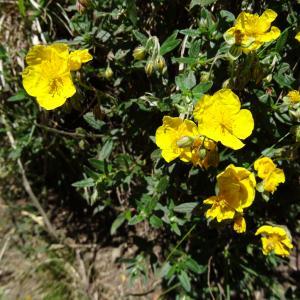 Photographie n°2464296 du taxon Helianthemum nummularium var. grandiflorum (Scop.) B.Bock