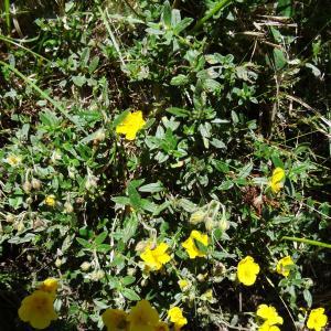 Photographie n°2464297 du taxon Helianthemum nummularium var. grandiflorum (Scop.) B.Bock