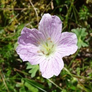 Photographie n°2465816 du taxon Geranium cinereum Cav. [1787]