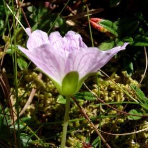 Photographie n°2465817 du taxon Geranium cinereum Cav. [1787]