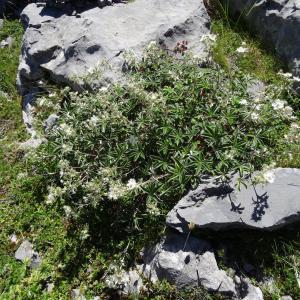 Photographie n°2465830 du taxon Potentilla alchemilloides Lapeyr. [1782]