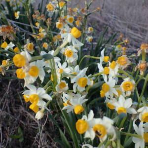 - Narcissus tazetta L.