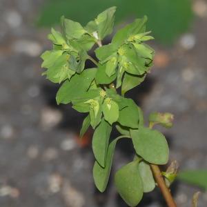 Photographie n°2467440 du taxon Euphorbia peplus L.