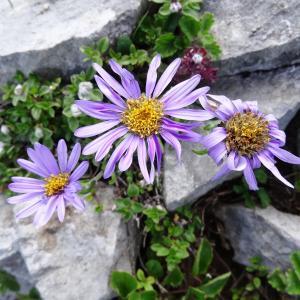 Aster alpinus L. (Aster des Alpes)