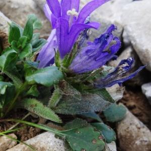 Campanula glomerata L. (Campanule à fleurs agglomérées)