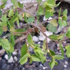 Photographie n°2467538 du taxon Euphorbia peplus L.