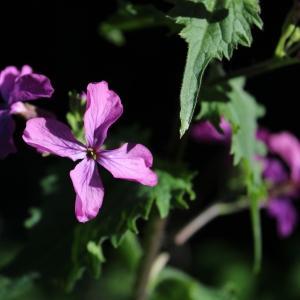Photographie n°2467556 du taxon Lunaria annua L.