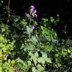 Photographie n°2467558 du taxon Lunaria annua L.
