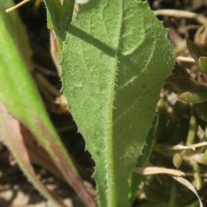 Photographie n°2467622 du taxon Crepis sancta (L.) Bornm. [1913]