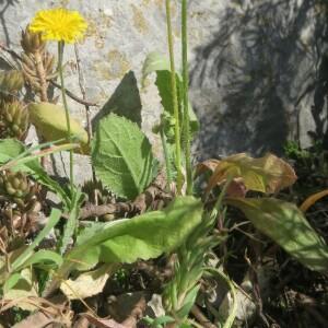Photographie n°2467623 du taxon Crepis sancta (L.) Bornm. [1913]