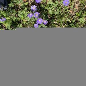 Photographie n°2467883 du taxon Anemone blanda Schott & Kotschy [1854]