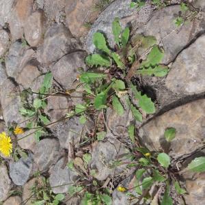 Photographie n°2468099 du taxon Crepis sancta subsp. nemausensis (Vill.) Babc.