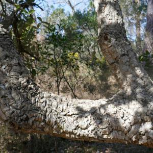 Photographie n°2468398 du taxon Quercus suber L. [1753]