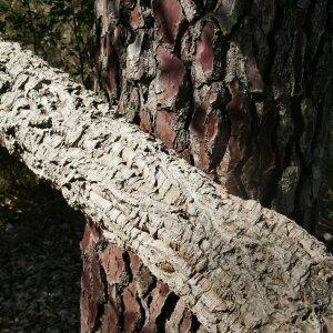Photographie n°2468400 du taxon Quercus suber L. [1753]