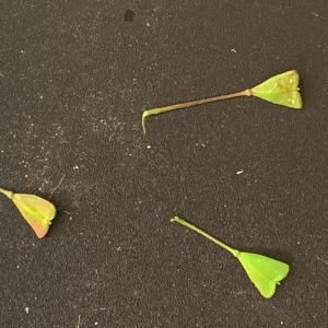 - Capsella bursa-pastoris (L.) Medik. [1792]