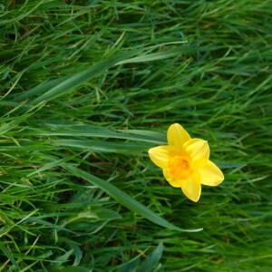 Photographie n°2468816 du taxon Narcissus pseudonarcissus L. [1753]