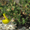 Claire Felloni - Ononis natrix subsp. ramosissima (Desf.) Batt. [1889]