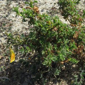 - Ononis natrix subsp. ramosissima (Desf.) Batt. [1889]