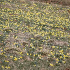 Photographie n°2469108 du taxon Narcissus pseudonarcissus L. [1753]