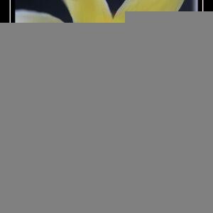 Photographie n°2469324 du taxon Narcissus pseudonarcissus L. [1753]