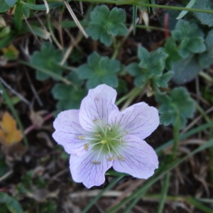 Photographie n°2469877 du taxon Geranium cinereum Cav. [1787]