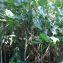 Montrichardia arborescens (L.) Schott [1854] [nn6807] par Guy Van Laere le 09/08/2020 - Trois-Rivières