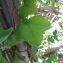 Passiflora andersonii DC. [1828] [nn7711] par Guy Van Laere le 09/08/2020 - Trois-Rivières
