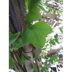 Passiflora andersonii DC. (Pat (a) kanna)