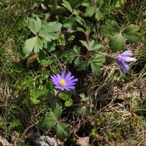 Photographie n°2470086 du taxon Anemone blanda Schott & Kotschy
