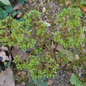 Photographie n°2470106 du taxon Euphorbia peplus L.