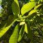Tabernaemontana citrifolia L. [1753] [nn10200] par Guy Van Laere le 09/08/2020 - Trois-Rivières