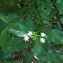Psychotria microdon (DC.) Urb. [1928] [nn8721] par Guy Van Laere le 09/08/2020 - Trois-Rivières