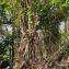 Hylocereus trigonus (Haw.) Safford [1909] [nn5241] par Guy Van Laere le 09/08/2020 - Trois-Rivières