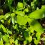 Calophyllum antillanum Britton [1924] [nn1714] par Guy Van Laere le 19/03/2021 - Trois-Rivières