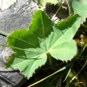 Photographie n°2470372 du taxon Alchemilla glabra Neygenf. [1821]