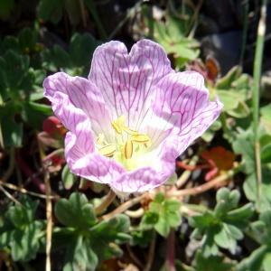 Photographie n°2470387 du taxon Geranium cinereum Cav. [1787]