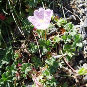 Photographie n°2470388 du taxon Geranium cinereum Cav. [1787]